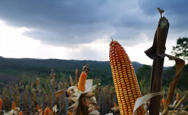 Panen Jagung di Bireuen, Mentan Syahrul Ajak Optimalkan Lahan