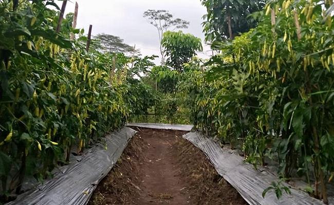 Sektor Pertanian Tumbuh, Sekjen KTNA: Mentan SYL Berhasil Bangun Pertanian