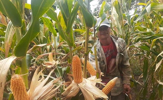 Stabilisasi Pasokan dan Harga Jagung, Kementan Bantu Distribusi Peternak Solo Raya